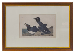 "Audubon Havell Edition ""Foolish Guillemot"" Print"